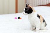 Very cute fluffy tricolor kitten