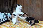 Two tricolor kittens play with each other