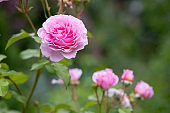 Blooming roses and buds on a bush in the garden.bush of beautiful pink roses.Bush of pink flowers on bright summer day. Holidays flofal background.