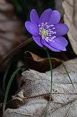 liverwort - Hepatica nobilis