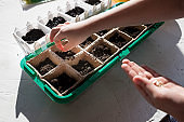 Seeds of plants and flowers in a plastic box container for seedlings with child's hand. Seeds prepared for planting in the ground. gardening, planting at home. child sowing seeds in germination box.