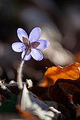 kidneywort - Hepatica nobilis