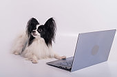Smart dog papillon breed works at a laptop on a white background. Continental Spaniel uses a wireless computer