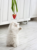 White fluffy kitten is played with a tulip flower