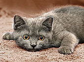 British breed kitten smoky-gray color while playing