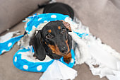 Naughty dachshund puppy was left at home alone and started making a mess. Pet tore up furniture and chews home slipper of owner. Baby dog is sitting in the middle of chaos and looks up piteously.