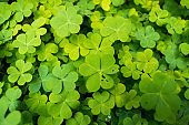 A shrub of shamrock background. Yellow and green colored petals naturally beautiful and ideal for background wallpaper