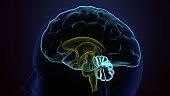 Human Brain inner parts Anatomy. 3d illustration