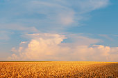Ripening golden rye ears on a farm field in front of beautiful sunset sky with cloud. Summer June background.