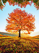 Sunny autumn. Natural landscape. Rural scenery with mountains, forests and fields. There is a lonely lush tree on the lawn covered with orange leaves through which the sun rays are shining.
