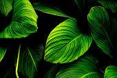 leaves of Spathiphyllum cannifolium