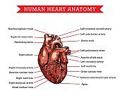 Human heart anatomy, vector sketch medicine scheme