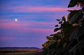 The moon rising over a field of sunflowers