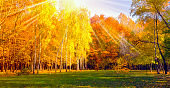 Trees in yellow foliage panorama landscapes of Countryside