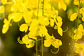 Ratchaphruek or Multiply flowers, Cassia fistula L. or golden shower are blooming on the tree.