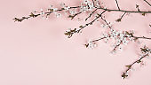 Cherry flowers on a pink background. Spring blooming branches, flat lay. Spring border background, flowering twig. Pink background.