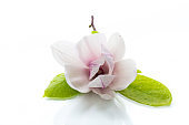 one pink flower on a branch of blooming magnolia close up