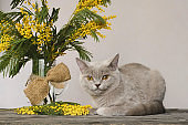 Mimosa Branches and a Gray Cat against A Gray Wall. Illuminating, Ultimate gray color of the year 2021.