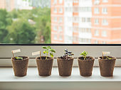 Basil seedlings in biodegradable pots on window sill. Green plants in peat pots. Baby plants sowing in small pots. Gardening at home. Peaceful hobby.