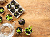 Basil seedlings in biodegradable pots on wooden table. Top view on green plants in peat pots and transparent watering can. Baby plants sowing in small pots. Trays for agricultural seedlings.