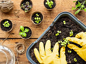 Woman in yellow rubber gloves plants basil seedlings in ground. Top view on wooden table with biodegradable flower pots, watering can, rope and other gardening tools.