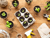 Basil seedlings in biodegradable pots on wooden table. Top view on green plants in peat pots and agricultural tools.
