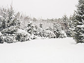 Winter natural background with green fir trees under the snow. Rural landscape.
