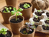 Basil seedlings in biodegradable pots on wooden table. Green plants in peat pots. Baby plants sowing in small pots. Trays for agricultural seedlings.