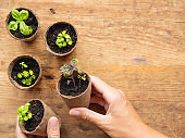 Basil seedlings in biodegradable pots on wooden table. Top view on woman hands with green plants in peat pots. Baby plants sowing in small pots. Trays for agricultural seedlings.