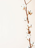 Close up of cotton branch on beige background. Minimal neutral floral composition