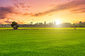 Beautiful green field cornfield or corn in Asia country agriculture harvest with sunset sky background.