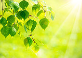 Bright green leaves of birch tree, sunny spring landscape, natural background