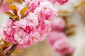 Amazing pink cherry blossoms on the Sakura tree in a spring garden.