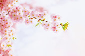 Amazing pink cherry blossoms on the Sakura tree. Beautiful spring tree.