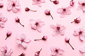 Beautiful cherry tree blossoms on pink background, flat lay