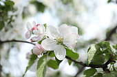 Closeup view of blossoming quince tree outdoors