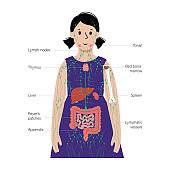 Lymphatic system in human body