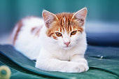 A small white-red kitten in the summer lies in the yard