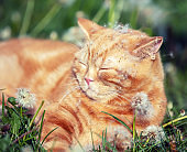 The ginger kitten is sleeping on the dandelion field. The cat is enjoying the spring sun