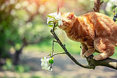 Little kitten sneaks up on a blooming apple tree in a spring orchard. The cat sniffs flowers on the branch