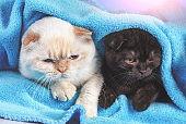 Two cute little kittens  peeking out from under the soft warm blue blanket