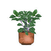 Tulsi Plant, houseplant in the pot, isolated on white background. Watercolor potted plant illustration. Home decor.
