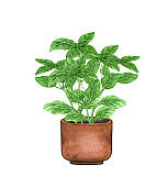 Basil plant,, houseplant in the pot, isolated on white background. Watercolor potted plant illustration. Home decor