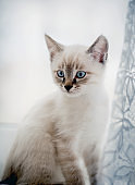 Portrait of a kitten with blue eyes on the window behind the curtain.