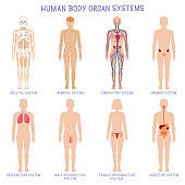 Cartoon human body organs systems. Anatomical biology systems, skeleton, nervous and reproductive system. Human biology organ scheme vector illustration set