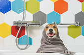 Happy and funny wet dog in bathroom after washing wrapped in towel