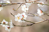 Beautiful White Cherry Blossom Trees In Full Bloom.