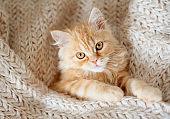 Cute little red kitten sleeps