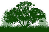 Beautiful willow Salix daphnoides and spruce trees, silhouette. Vector illustration