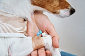 Dog with a bandaged catheter on his paw. Pet care